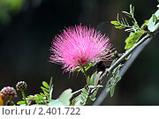 Купить «Альбиция (ленкоранская акация) Albizzia julibrissin», фото № 2401722, снято 12 марта 2011 г. (c) Irina Opachevsky / Фотобанк Лори