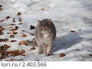Купить «Серый пушистый кот на снегу», эксклюзивное фото № 2403566, снято 13 марта 2011 г. (c) lana1501 / Фотобанк Лори