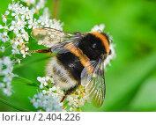 Купить «Шмель (Bombus) на цветках сныти обыкновенная ( Aegopodium podagrаria)», эксклюзивное фото № 2404226, снято 22 июня 2009 г. (c) Алёшина Оксана / Фотобанк Лори