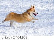 Купить «Собака породы вельш корги пемброк бежит по снегу», фото № 2404938, снято 13 марта 2011 г. (c) Сергей Лаврентьев / Фотобанк Лори