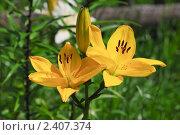 Купить «Желтая лилия (Lilium)», эксклюзивное фото № 2407374, снято 18 июля 2009 г. (c) Алёшина Оксана / Фотобанк Лори