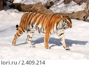 Купить «Амурский тигр в Московском зоопарке (лат. Panthera tigris altaica)», эксклюзивное фото № 2409214, снято 13 марта 2011 г. (c) Щеголева Ольга / Фотобанк Лори