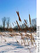 Купить «Рогоз на берегу замерзшего лесного озера», фото № 2409598, снято 10 марта 2011 г. (c) Антон Стариков / Фотобанк Лори