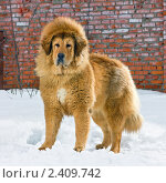 Купить «Собака породы тибетский мастиф», фото № 2409742, снято 15 марта 2011 г. (c) Сергей Лаврентьев / Фотобанк Лори