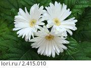 Три цветка герберы. Стоковое фото, фотограф Смоляков Владислав / Фотобанк Лори