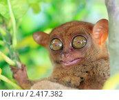 Филиппинский долгопят. Стоковое фото, фотограф Ольга Хорошунова / Фотобанк Лори
