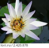 Водная лилия и пчелы. Стоковое фото, фотограф Баранов Александр / Фотобанк Лори