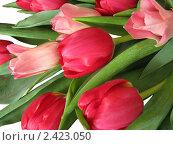 Купить «Тюльпаны», фото № 2423050, снято 9 марта 2011 г. (c) Алла Виноградова / Фотобанк Лори