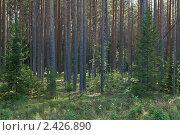 Купить «Сосновый лес вечером», фото № 2426890, снято 14 июля 2010 г. (c) Михаил Иванов / Фотобанк Лори