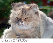 Купить «Персидская кошка», фото № 2429358, снято 7 августа 2020 г. (c) Алексей Кокоулин / Фотобанк Лори