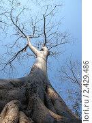 Весеннее дерево без листьев. Стоковое фото, фотограф Александр Гавриченко / Фотобанк Лори