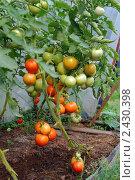 Урожай томатов. Стоковое фото, фотограф Екатерина Жукова / Фотобанк Лори