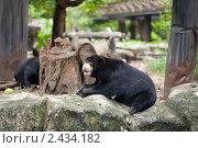 Малайский медведь бируанг. Стоковое фото, фотограф Роман Богдановский / Фотобанк Лори