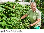 Купить «Женщина на даче собирает огурцы», фото № 2438682, снято 8 июля 2010 г. (c) Ирина Завьялова / Фотобанк Лори
