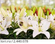 Купить «Крупным планом цветы лилии», фото № 2440078, снято 13 мая 2010 г. (c) Арсений Герасименко / Фотобанк Лори
