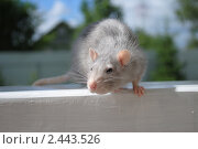 Крыса. Стоковое фото, фотограф Орлова Олеся / Фотобанк Лори