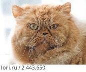 Купить «Рыжий персидский кот экстремал», фото № 2443650, снято 7 марта 2011 г. (c) Илья Федоров / Фотобанк Лори