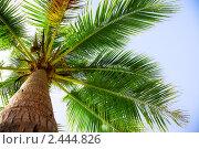 Купить «Кокосовая пальма», фото № 2444826, снято 26 ноября 2010 г. (c) Коваль Василий / Фотобанк Лори
