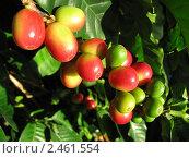 Плоды кофе сорта Арабика на ветке. Стоковое фото, фотограф Литвинова Евгения / Фотобанк Лори
