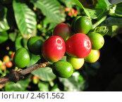 Спелые и зелёные плоды кофе Арабика. Стоковое фото, фотограф Литвинова Евгения / Фотобанк Лори