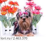 Купить «Щенок йоркширского терьера и цветы», фото № 2463370, снято 9 апреля 2011 г. (c) Ирина Игумнова / Фотобанк Лори