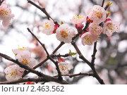 Ветка цветущей сакуры. Стоковое фото, фотограф Валентин Олейников / Фотобанк Лори
