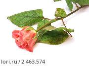 Роза на белом фоне. Стоковое фото, фотограф Валентин Олейников / Фотобанк Лори
