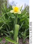 Купить «Нарцисс-одиночка», фото № 2465006, снято 1 мая 2008 г. (c) Анна Жигалова / Фотобанк Лори