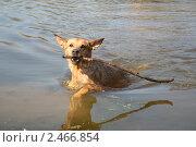 Плывущая собака несёт палку. Стоковое фото, фотограф Маргарита Мухина / Фотобанк Лори