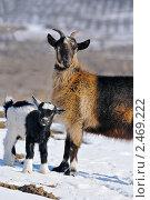 Купить «Маленький козленок с козой», фото № 2469222, снято 3 марта 2011 г. (c) Титаренко Елена / Фотобанк Лори