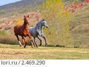 Купить «Две лошади скачут в поле на свободе», фото № 2469290, снято 21 октября 2010 г. (c) Титаренко Елена / Фотобанк Лори