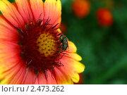 Сочная пчела  на очень ярком цветке. Стоковое фото, фотограф Евгений Панченко / Фотобанк Лори