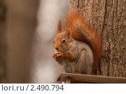 Белка в лесу. Стоковое фото, фотограф Иван Губанов / Фотобанк Лори