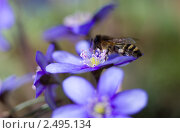 Купить «Печеночница и пчела», фото № 2495134, снято 20 апреля 2011 г. (c) Наталья Волкова / Фотобанк Лори