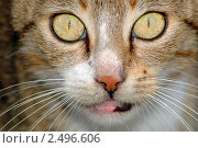 Портрет кошки. Стоковое фото, фотограф Иван Полушкин / Фотобанк Лори