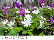Купить «Кандык сибирский (лат. Erythronium sibiricum)», фото № 2497242, снято 22 апреля 2011 г. (c) Олег Новожилов / Фотобанк Лори