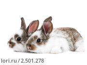 Купить «Два крольчонка», фото № 2501278, снято 3 августа 2020 г. (c) Дмитрий Калиновский / Фотобанк Лори