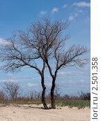 Два дерева. Стоковое фото, фотограф Дмитрий Макаревич / Фотобанк Лори
