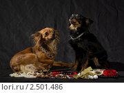 Русские той-терьеры с бижутерией на черном фоне. Стоковое фото, фотограф Dmitry S. Marshavin / Фотобанк Лори