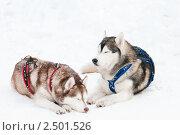 Купить «Ездовые собаки», фото № 2501526, снято 23 октября 2018 г. (c) Дмитрий Калиновский / Фотобанк Лори