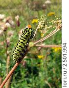Гусеница бабочки махаон кормится на зонтичном растении. Стоковое фото, фотограф Анастасия Кудряшова / Фотобанк Лори