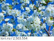 Цветущие ветки яблони на фоне неба. Стоковое фото, фотограф Павел Воробьёв / Фотобанк Лори