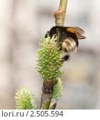 Купить «Большой шмель опыляет иву», фото № 2505594, снято 30 апреля 2011 г. (c) Екатерина Овсянникова / Фотобанк Лори