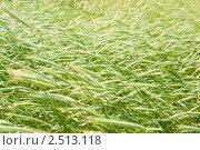 Ржаное поле. Стоковое фото, фотограф Александр Подшивалов / Фотобанк Лори