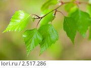 Купить «Молодая листва березы на светло-зеленом фоне», фото № 2517286, снято 7 мая 2011 г. (c) Екатерина Овсянникова / Фотобанк Лори