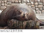 Купить «Сивуч спит», фото № 2517514, снято 7 мая 2011 г. (c) Вячеслав Беляев / Фотобанк Лори