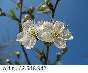 Яблоня в цвету. Стоковое фото, фотограф Денис Антонов / Фотобанк Лори