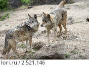 Волки. Стоковое фото, фотограф Андрей Бойко / Фотобанк Лори