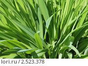 Фон из зеленой травы. Стоковое фото, фотограф Галина Бурцева / Фотобанк Лори