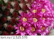 Купить «Бутоны, цветы и колючки. Цветение кактуса Маммилярия  (Mammilaria)», фото № 2525570, снято 11 мая 2011 г. (c) Валерия Попова / Фотобанк Лори